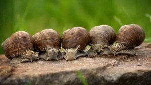 Organic Farming in DPRK with Help of Mud Snails