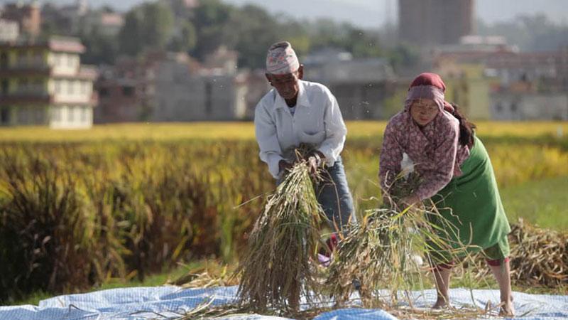 Two peasants harvesting rice