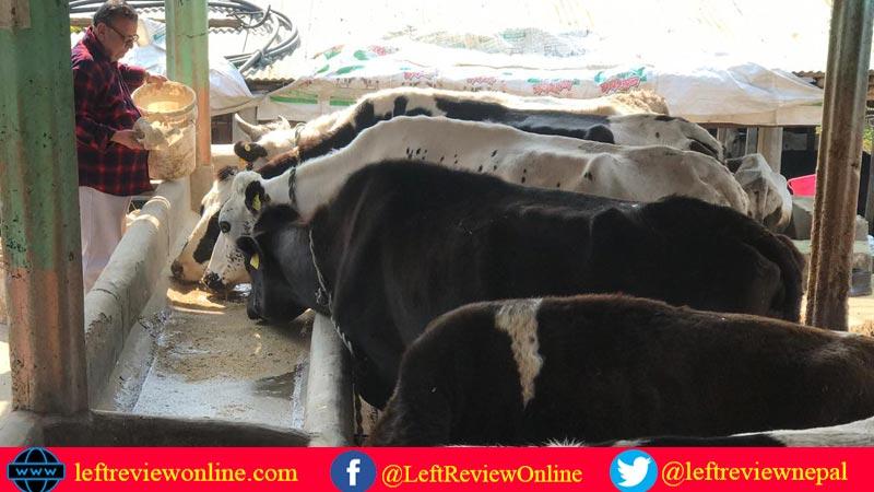 rajendra raj panta, kamdhenu cow farm, chyangli, gorakha